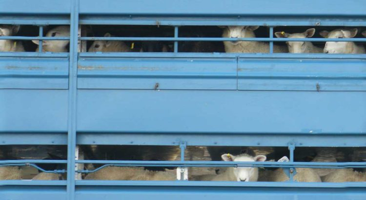 Sheep in a lorry. Image by Lesley via Flickr