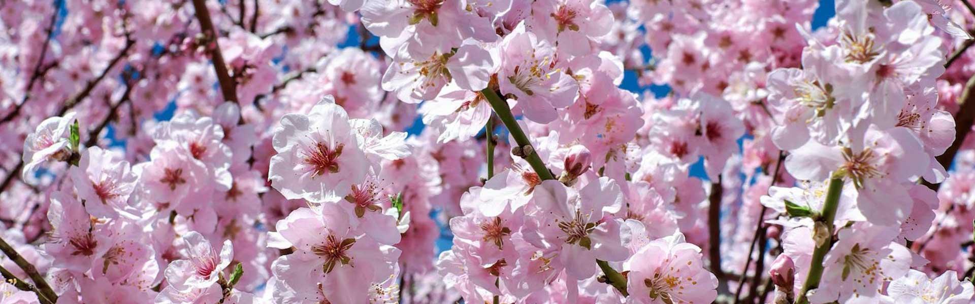 cherry tree in flower